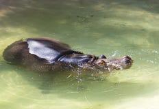 вода солнца полдня hippopotamus задней пташки Африки яркая Стоковое Изображение RF