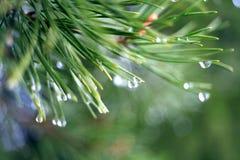 Вода текстуры ветвей ели на ей Стоковое фото RF