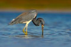 Вода утра светлая с птицей Птица звероловства Птица воды сидя в воде Пляж в Флориде, США Цапля Tricolored птицы воды, Стоковые Изображения RF