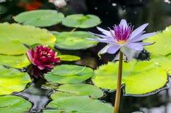 Вода Lilys стоковое изображение