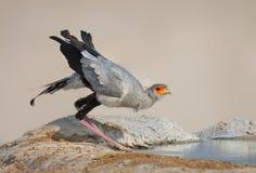 вода secretarybird питья Стоковая Фотография