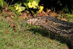 вода varanus salvator монитора ящерицы Стоковая Фотография