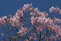 Во время вишневого цвета, вишня выглядеть как розовые облака на заходе солнца стоковые фото
