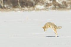 Pouncing койот Стоковые Фото