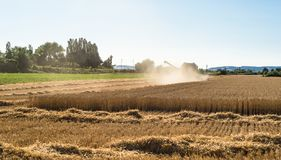 Во время сбора, зернокомбайн косит зрелую пшеницу в поле стоковые изображения