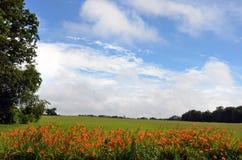 Во время daylily лета общего оранжевого вырастите наряду с проезжими частями в штат Нью-Йорк стоковая фотография rf