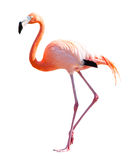 Во всю длину фламинго над белизной Стоковая Фотография
