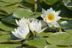 Вод-лилия белизны карлика Стоковое Фото