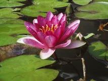 Вод-лилия конца-вверх одиночная розовая в воде Стоковое Изображение RF