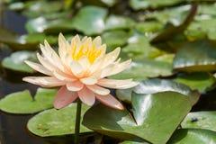 Вод-лилия Стоковое фото RF