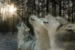 3 волка завывая в лесе зимы стоковое фото rf