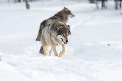 2 волка идя в снег Стоковые Изображения RF