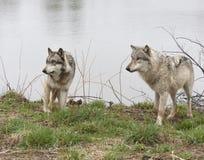 2 волка озером Стоковая Фотография RF