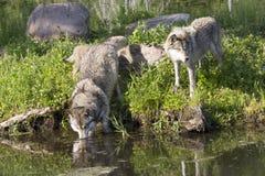 2 волка тимберса потоком Стоковые Изображения