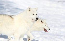 Белые волки Стоковые Фото