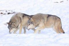 Волки на рысканье стоковое фото rf