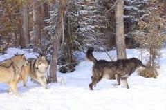 Волки охотясь лось стоковое изображение