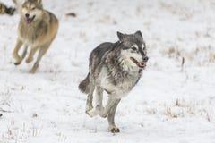 Волки тундры стоковые изображения
