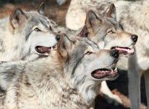 волки Стоковая Фотография RF