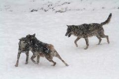 волки io n снег Стоковая Фотография