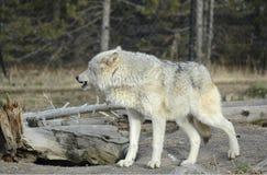 Волк воспринимает опасность Стоковое фото RF