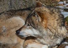 Волк (волчанка волка) в зиме в немецком олене паркует Стоковые Фотографии RF