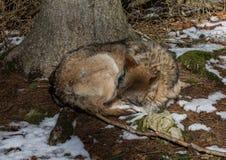 Волк (волчанка волка) в зиме в немецком олене паркует Стоковая Фотография RF