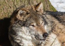 Волк (волчанка волка) в зиме в немецком олене паркует Стоковые Фото