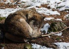 Волк (волчанка волка) в зиме в немецком олене паркует Стоковое Изображение RF