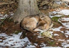 Волк (волчанка волка) в зиме в немецком олене паркует Стоковое фото RF