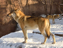 Волк в зиме Стоковая Фотография RF