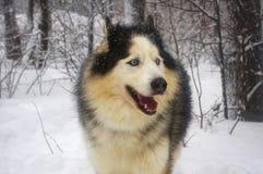 Волк в покрытом снег лесе стоковая фотография
