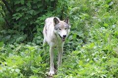 Волк в пуще Стоковое Фото
