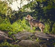 Волк в пуще Стоковое фото RF