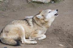 Волк завывать в зоопарке Стоковые Изображения