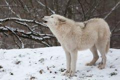 Волк завывать ледовитый Стоковые Фотографии RF