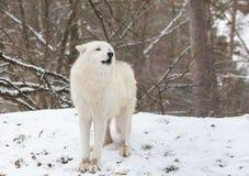 Волк завывать ледовитый Стоковая Фотография RF