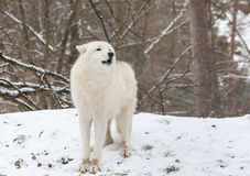Волк завывать ледовитый Стоковое Изображение RF