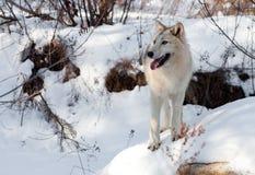 Волк зимы на утесе Стоковая Фотография