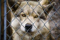 Волк и собаки волка в зиме Стоковое фото RF