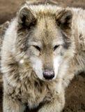Волк и собаки волка в зиме Стоковые Фото