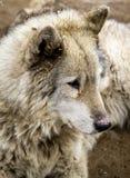 Волк и собаки волка в зиме Стоковая Фотография RF