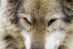 Волк и собаки волка в зиме Стоковые Изображения RF