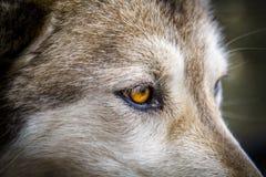 Волк и собаки волка в зиме Стоковое Изображение