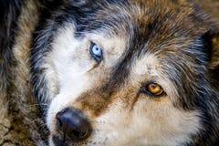 Волк и собаки волка в зиме Стоковое Изображение RF