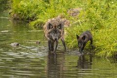 Волк и щенок Стоковые Фото