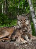 Волк матери серый и щенок (волчанка волка) Стоковая Фотография