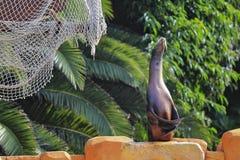 волк моря 2 Стоковая Фотография RF