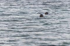 волк моря 2 Стоковое Изображение