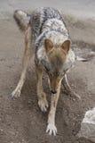 Волк роя землю Стоковое Изображение